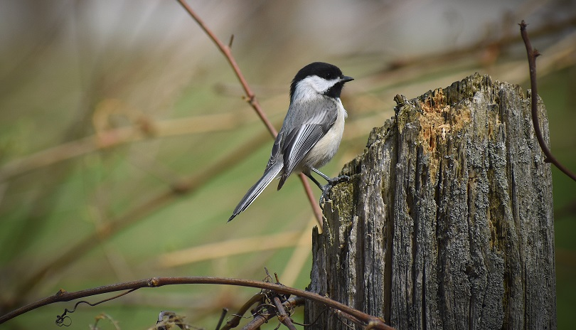 Black Capped Chickadee bird resting on a broken tree log