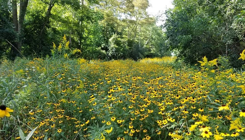 A bed of yellow wild flowers in the Kilally Meadows Environmentally Significant Area in London Ontario